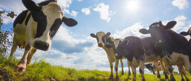 scotland's-rural-college-makes-moo-ves-against-bovine-tuberculosis-with-ai